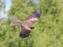Black Kite in flight Royalty Free Stock Photography