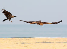 Black kite in flight with house crow. Fighting for fish Stock Photography