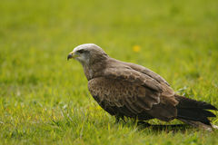 Black Kite on the floor. Black kite landed on the grass, also known as yellow billed kite Royalty Free Stock Photos