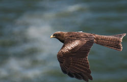 Black kite in fly. A black kite in fly over the ocean royalty free stock images