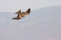 Black kite flying Royalty Free Stock Images