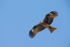 Black Kite flying. In blue Sky Stock Photo