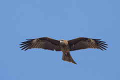 Black Kite flying. In blue Sky Stock Image