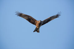 Black Kite flying. In blue sky Stock Photography