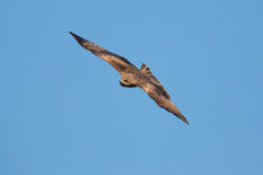 Black Kite flying. In blue sky Royalty Free Stock Images