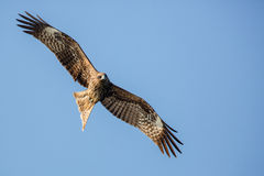 Black Kite flying. In blue sky Stock Images