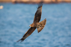 Black Kite flying. On sea Stock Images