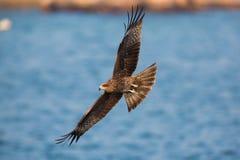 Black Kite flying Stock Images