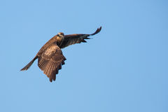 Black Kite flying. In blue sky Royalty Free Stock Photography