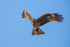 Black Kite flying. In blue sky Royalty Free Stock Photo