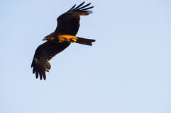 Black Kite flying at blue sky Royalty Free Stock Image