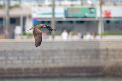 Black Kite flying in city with blur city background Stock Images