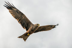 Black kite flying Royalty Free Stock Photo