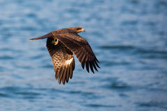 Black Kite flying. On sea Stock Photo