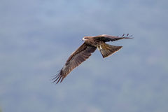 Black Kite  flying in sky Stock Images