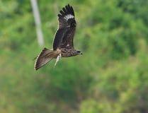Black Kite Royalty Free Stock Image