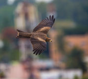 Black Kite, India. Royalty Free Stock Photography