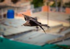 Black Kite, India. Stock Image