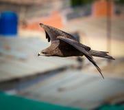 Black Kite, India. Stock Images