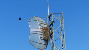 Black Kite. S have become quite adept at adapting to the environment in the 21st century. Here we can see them nesting in a radio transmitter. The only thing royalty free stock photos