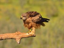 Black kite on leafless branch Royalty Free Stock Photography