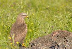 Black kite looking away while sitting in grass. Stock Images