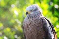 Black kite (milvus migrans) Royalty Free Stock Image