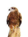 Black kite (Milvus migrans) Royalty Free Stock Photo