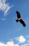 Black kite (Milvus migrans). With sky background Royalty Free Stock Photo