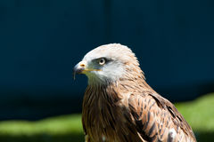 Black Kite (Milvus migrans) Stock Photos