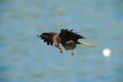 Black Kite ( Milvus migrans). Black Kite ( Milvus migrans ) flight Stock Photo