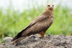 Black kite (Milvus migrans) Royalty Free Stock Images
