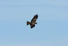 Black Kite (Milvus migrans) Stock Image