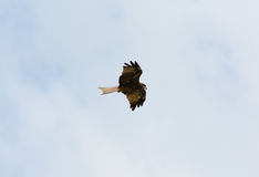 Black Kite (Milvus migrans) Royalty Free Stock Image