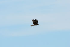 Black Kite (Milvus migrans) Stock Photo
