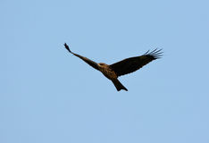 Black Kite (Milvus migrans) Stock Images