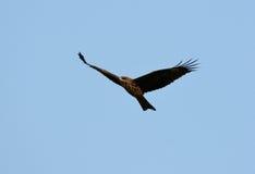 Black Kite (Milvus migrans) Stock Images