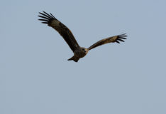 Black Kite (Milvus migrans) Royalty Free Stock Photos