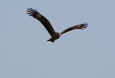 Black Kite (Milvus migrans) Royalty Free Stock Photos