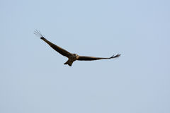 Black Kite (Milvus migrans) Stock Photos
