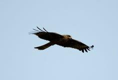 Black Kite Milvus migrans Stock Photos