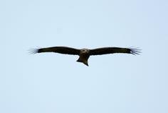 Black Kite Milvus migrans Stock Photo