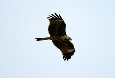 Black Kite Milvus migrans Royalty Free Stock Photo