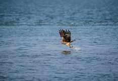 Black Kite Milvus migrans. A Black Kite Milvus migrans bird flying away with a large fish it just caught from the sea Stock Image