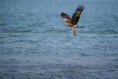 Black Kite Milvus migrans. A Black Kite Milvus migrans bird flying away with a large fish it just caught from the sea Stock Photo