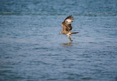 Black Kite Milvus migrans. A Black Kite Milvus migrans bird flying away with a large fish it just caught from the sea Stock Images