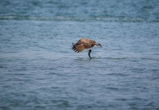 Black Kite Milvus migrans. A Black Kite Milvus migrans bird flying away with a large fish it just caught from the sea Stock Photos