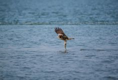 Black Kite Milvus migrans. A Black Kite Milvus migrans bird flying away with a large fish it just caught from the sea Royalty Free Stock Photos