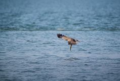 Black Kite Milvus migrans. A Black Kite Milvus migrans bird flying away with a large fish it just caught from the sea Royalty Free Stock Photography