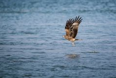 Black Kite Milvus migrans. A Black Kite Milvus migrans bird flying away with a large squid it just caught from the sea Royalty Free Stock Image